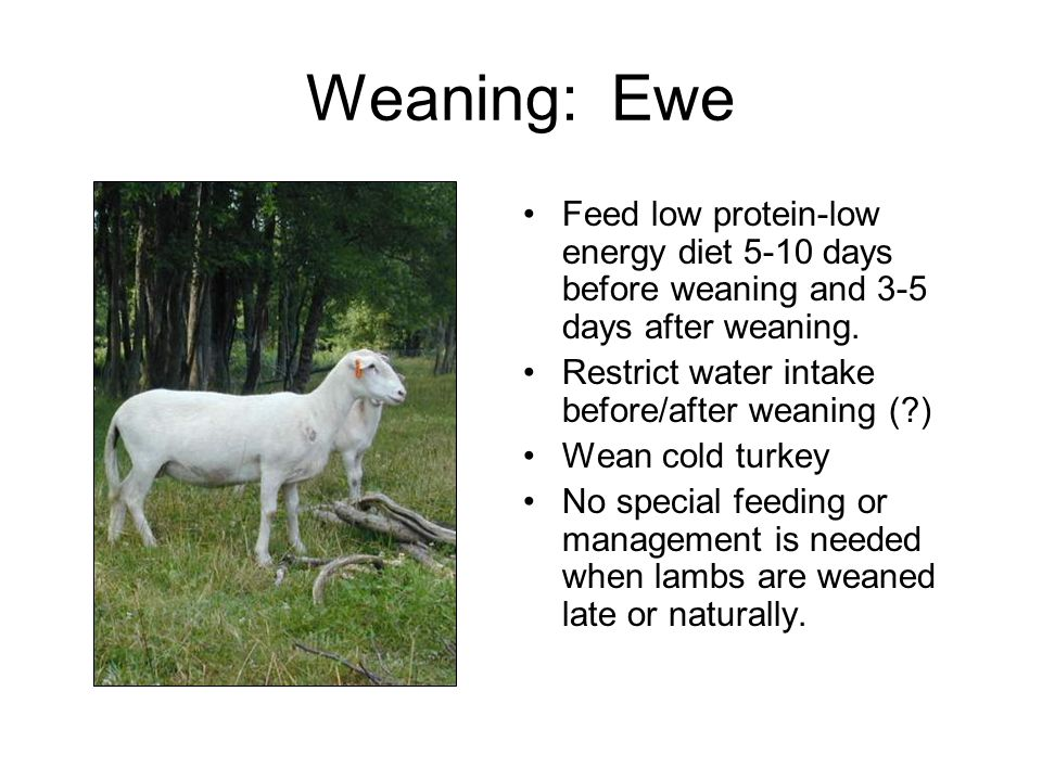 Weaning: Ewe Feed low protein-low energy diet 5-10 days before weaning and 3-5 days after weaning.