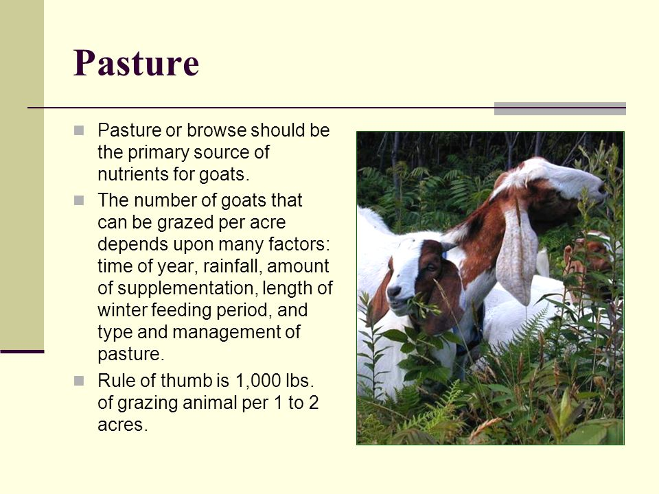 Pasture Pasture or browse should be the primary source of nutrients for goats.