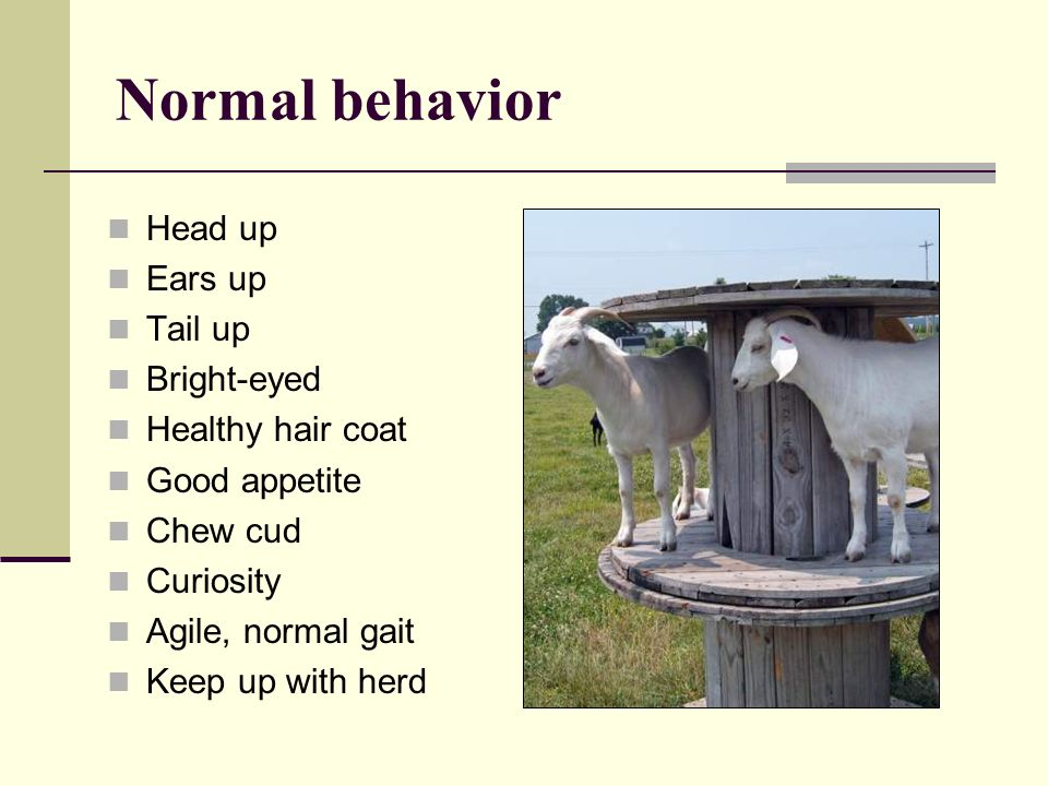 Normal behavior Head up Ears up Tail up Bright-eyed Healthy hair coat