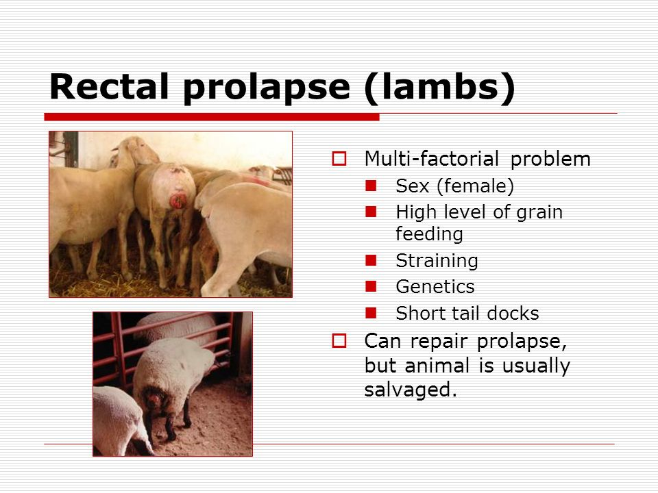 Rectal prolapse (lambs)