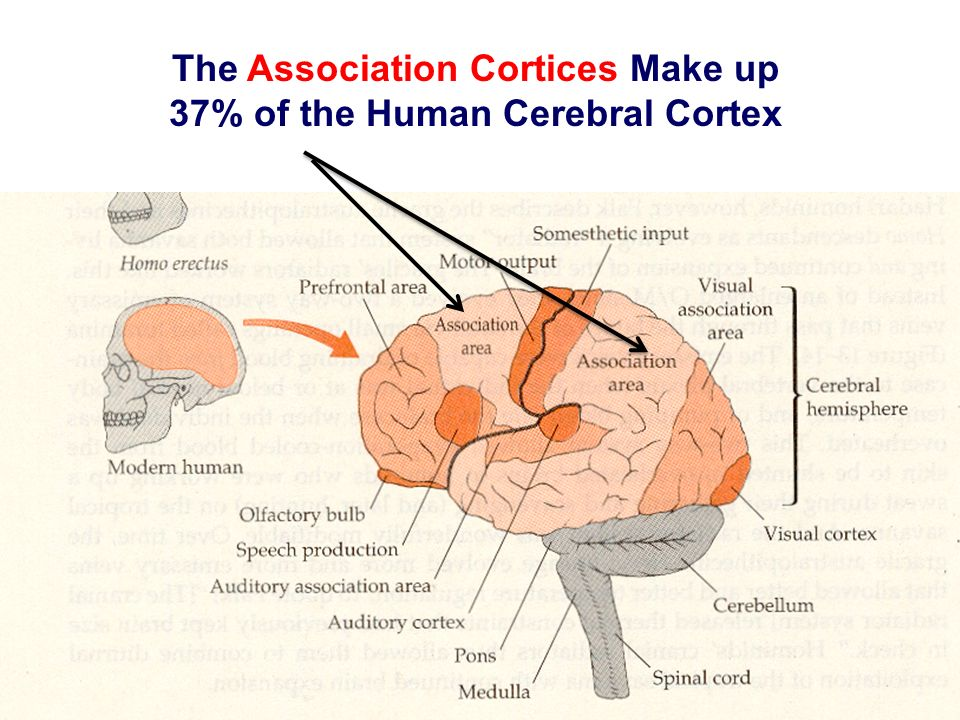The Association Cortices Make up 37% of the Human Cerebral Cortex