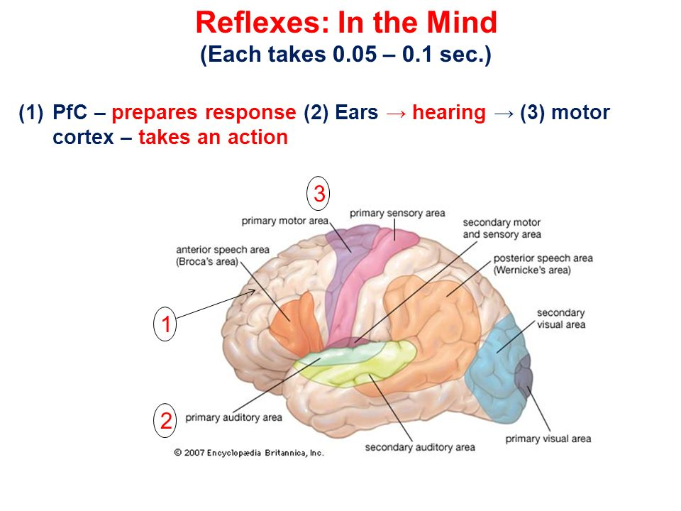 Reflexes: In the Mind (Each takes 0.05 – 0.1 sec.) 3 1 2