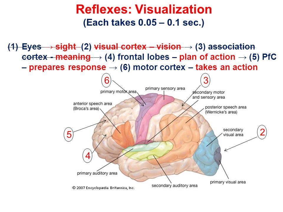 Reflexes: Visualization