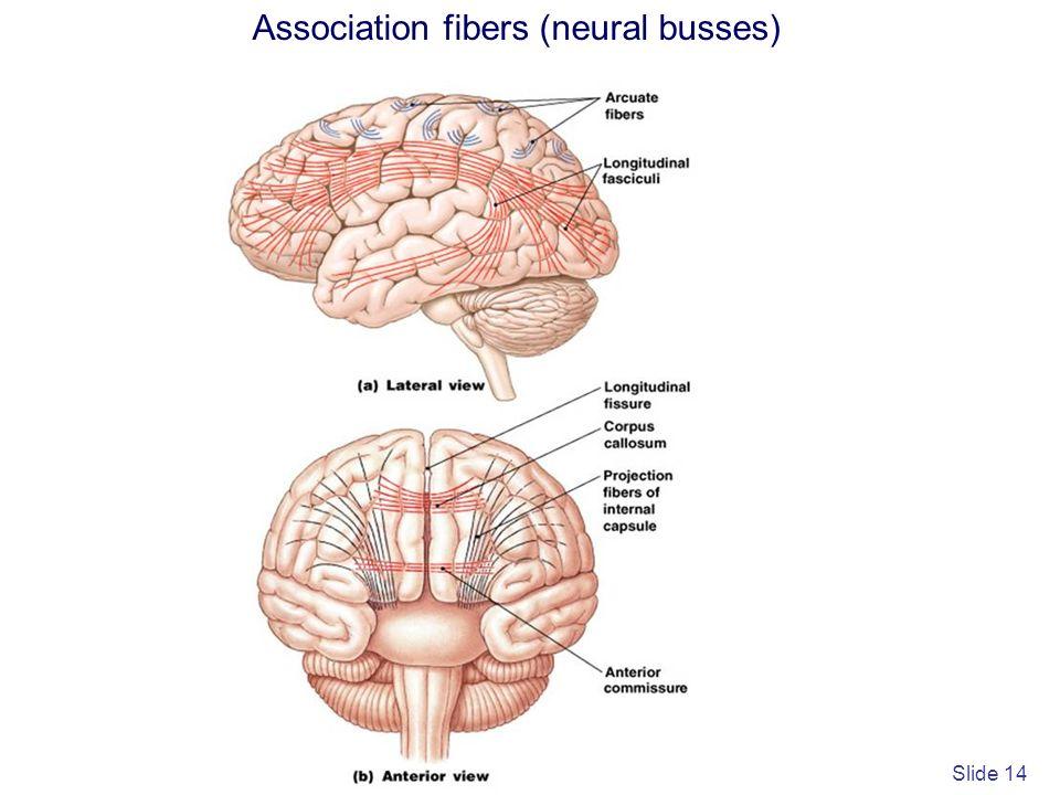 Association fibers (neural busses)