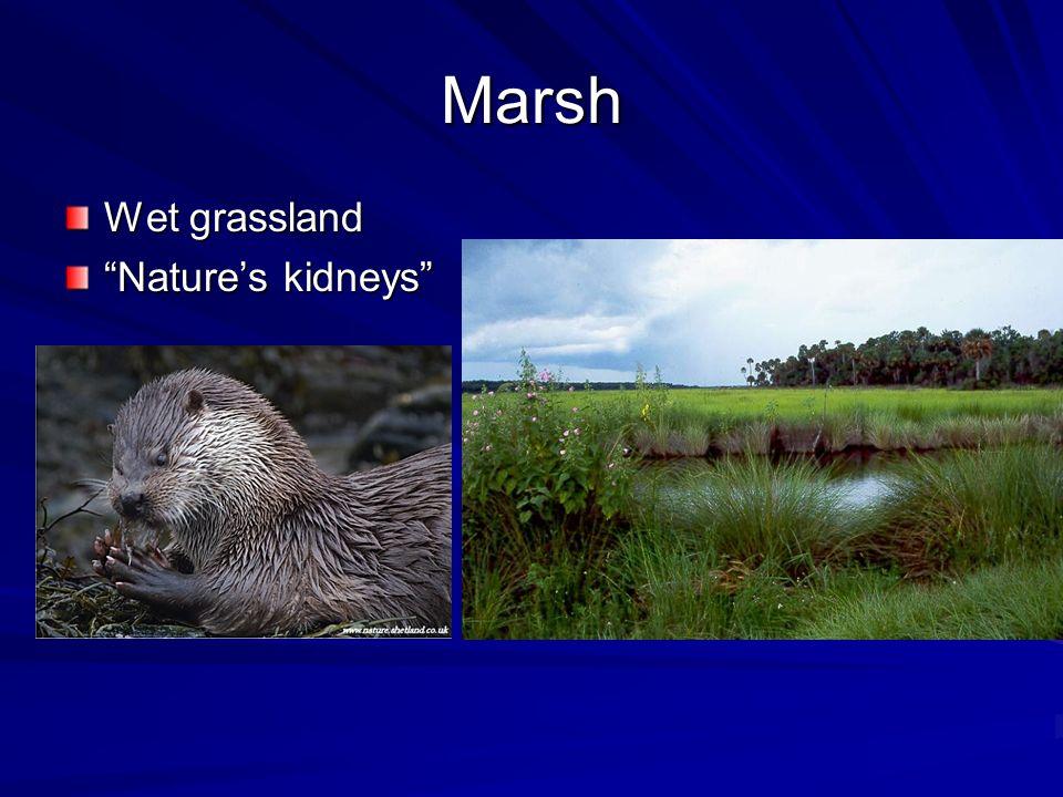Marsh Wet grassland Nature's kidneys