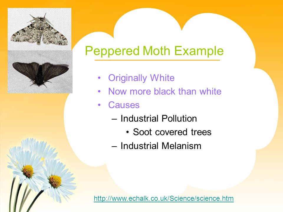 Peppered Moth Example Originally White Now more black than white