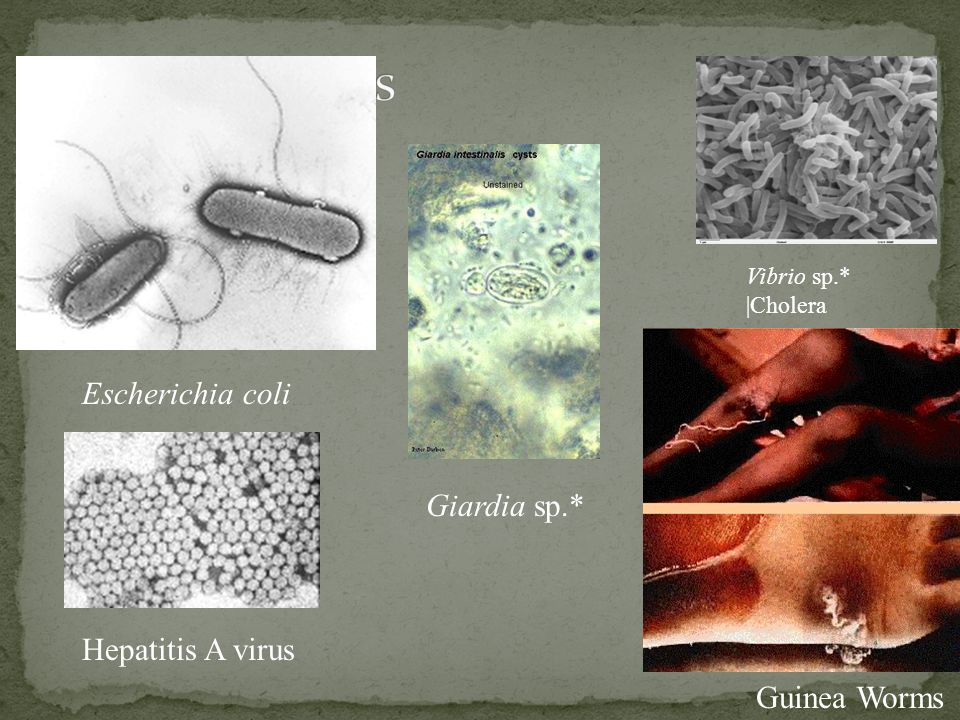 Pathogens Escherichia coli Giardia sp.* Hepatitis A virus Guinea Worms