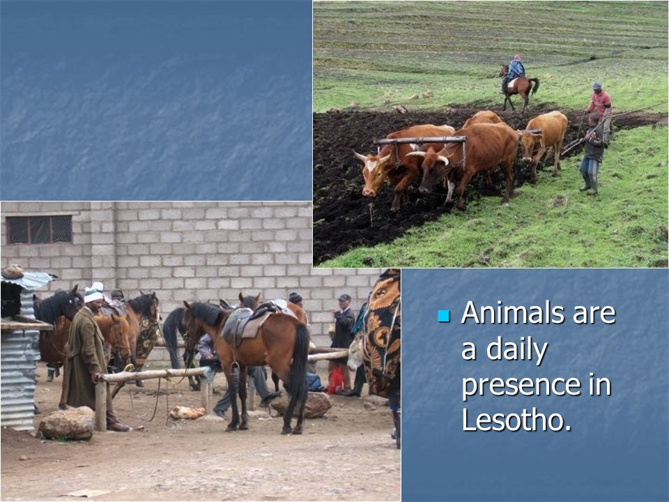 Animals are a daily presence in Lesotho.