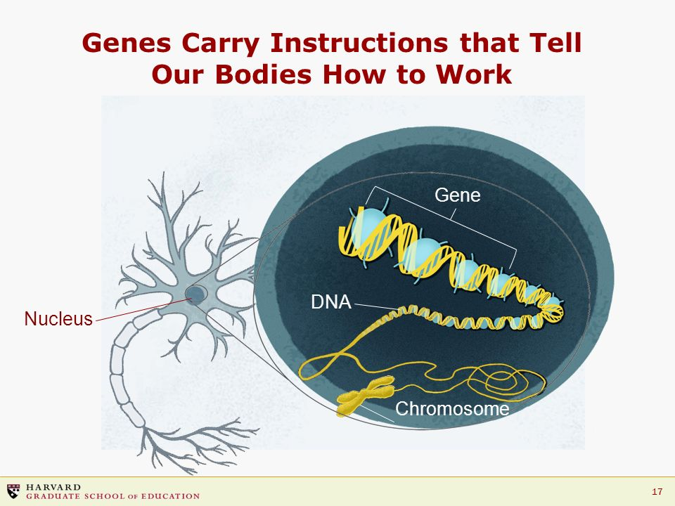 Genes Carry Instructions that Tell Our Bodies How to Work
