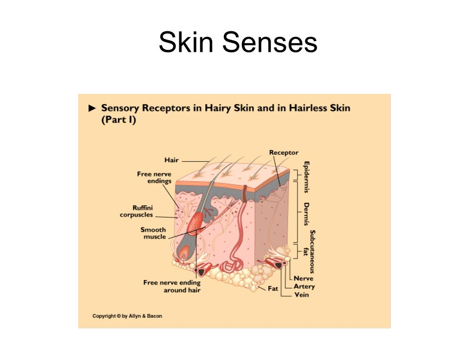 cutaneous receptors The cutaneous receptors are the types of sensory receptor found in the dermis or epidermis cutaneous receptors include cutaneous mechanoreceptors, nociceptors (pain) and.