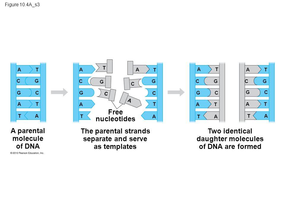 molecular biology of the gene ppt download. Black Bedroom Furniture Sets. Home Design Ideas