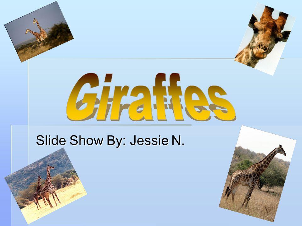 Giraffes Slide Show By: Jessie N.