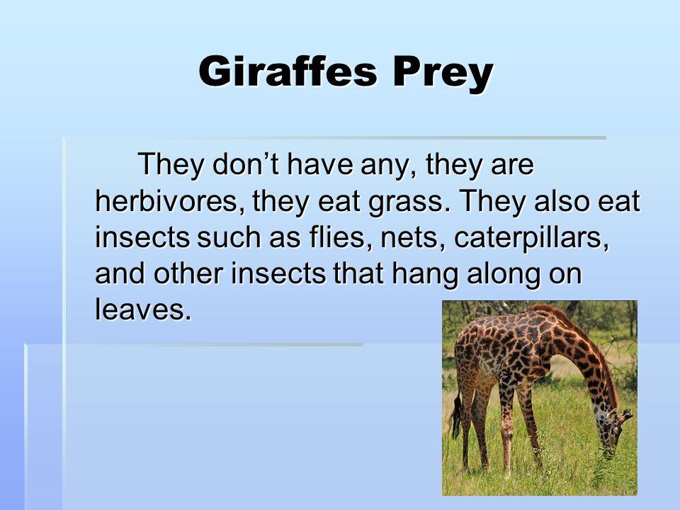 Giraffes Prey