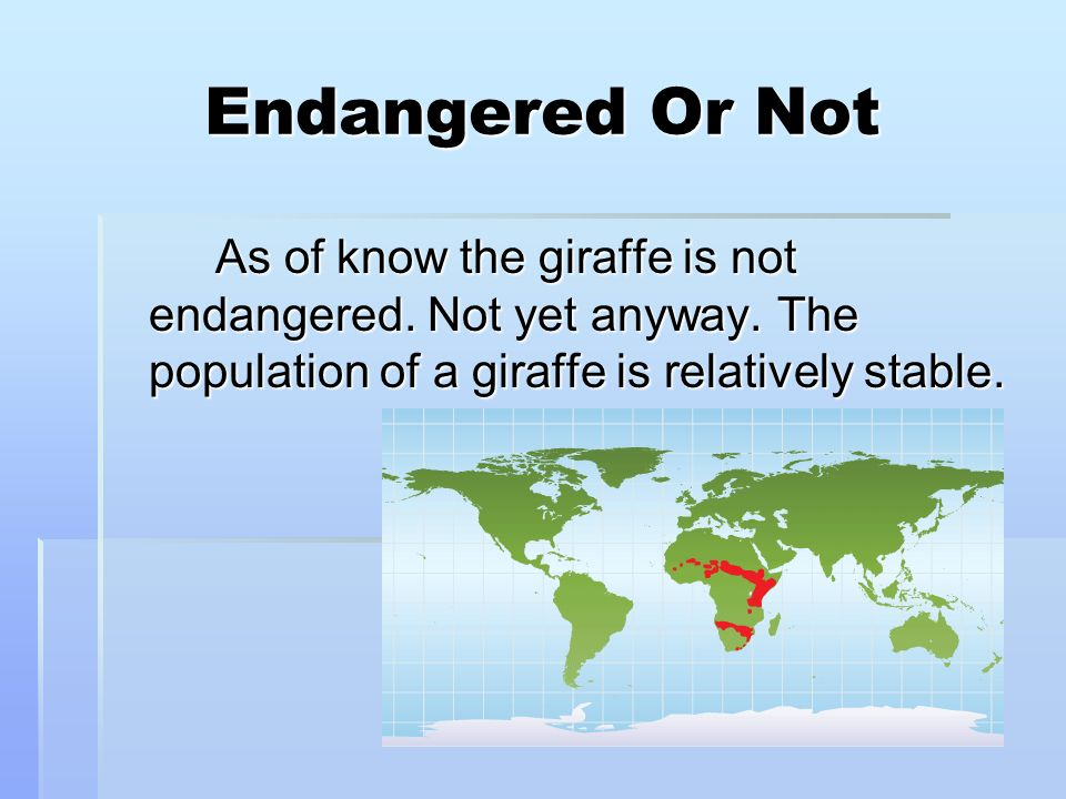 Endangered Or Not As of know the giraffe is not endangered.