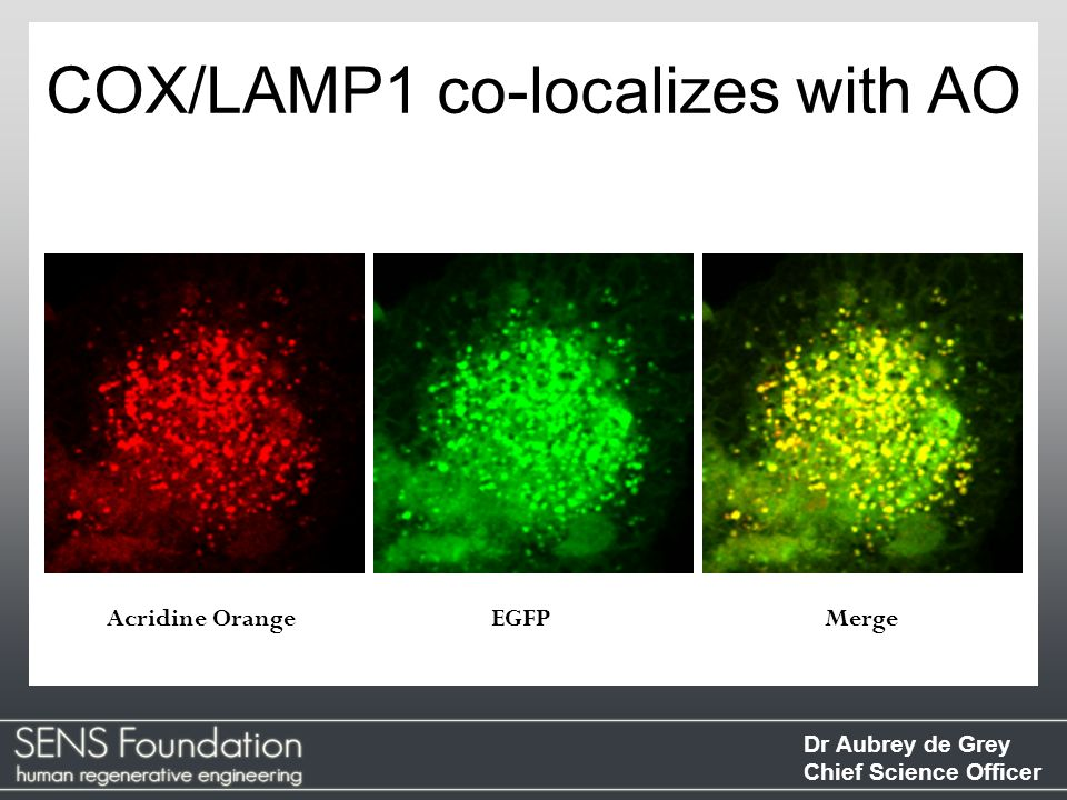 COX/LAMP1 co-localizes with AO