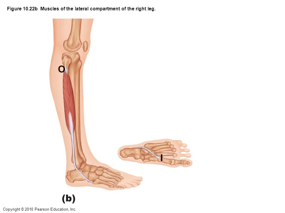 lateral compartment of leg - photo #30