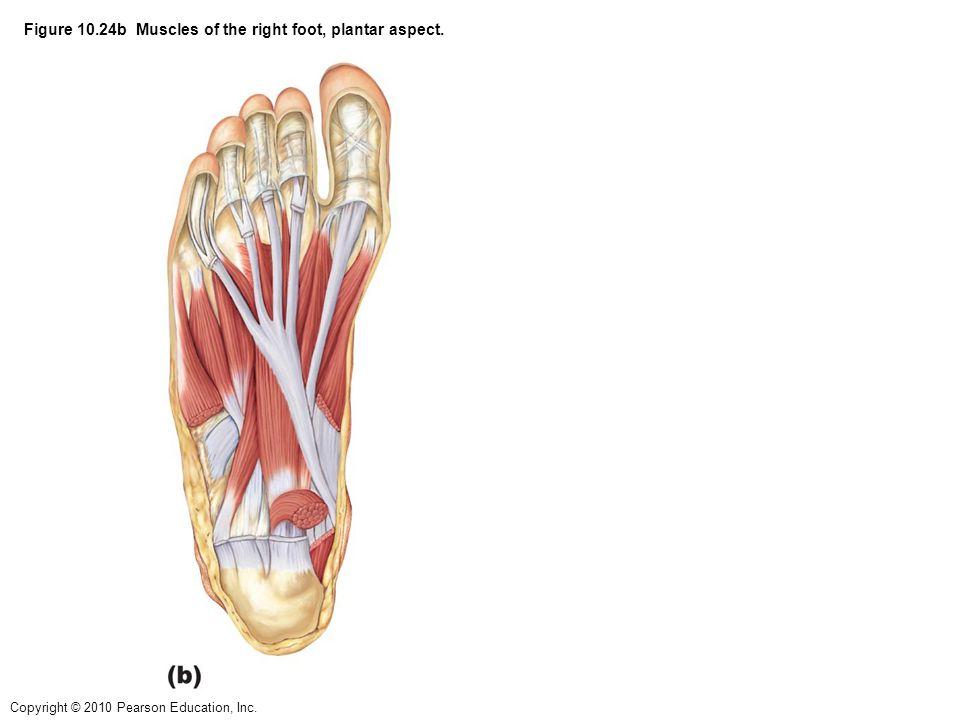 Anatomy Of The Right Foot Choice Image - human body anatomy