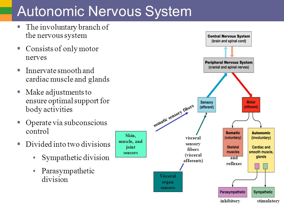 The Spinal Cord (CNS) and Peripheral Nervous System - ppt ... | 960 x 720 jpeg 86kB