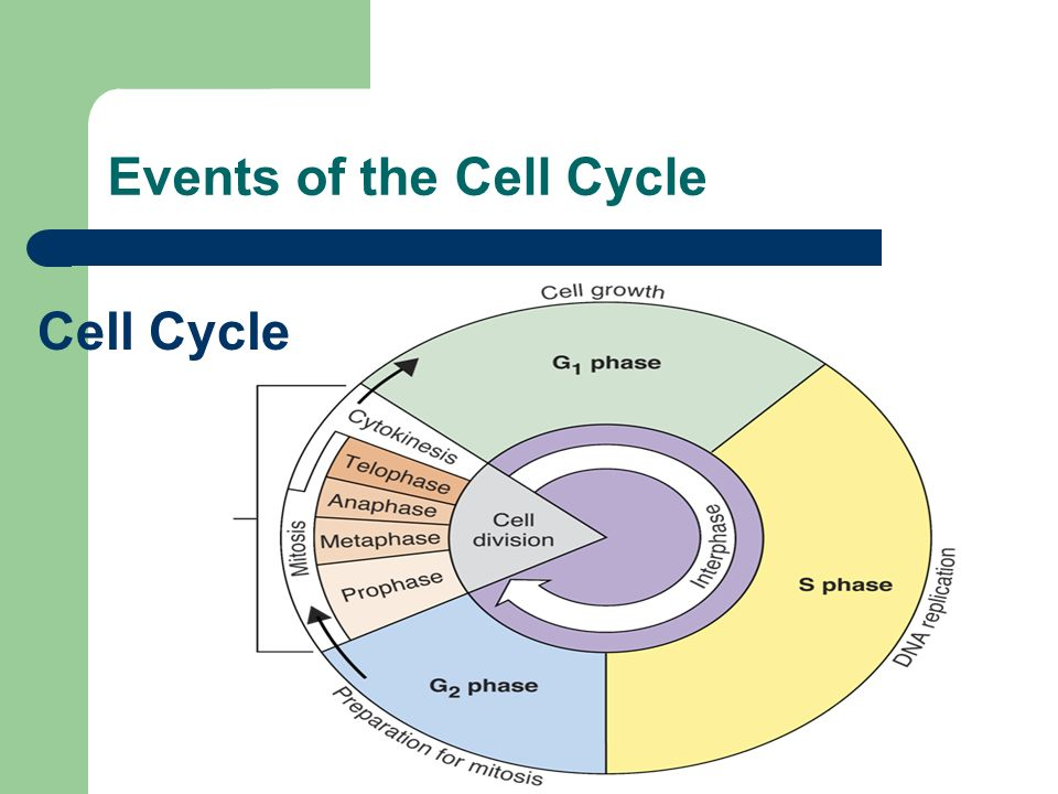 Cell Growth Cell Cycle Mitosis Cytokinesis ppt video online – The Cell Cycle Worksheet