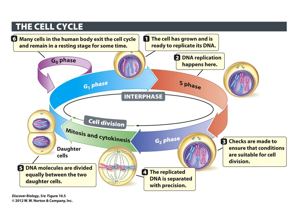 stages of a cells life cycle Plant cell life cycle growth stages of arabidopsis, a model plant 1 germination: seed to seedling 2 development of the vegetative plant 3 development of.