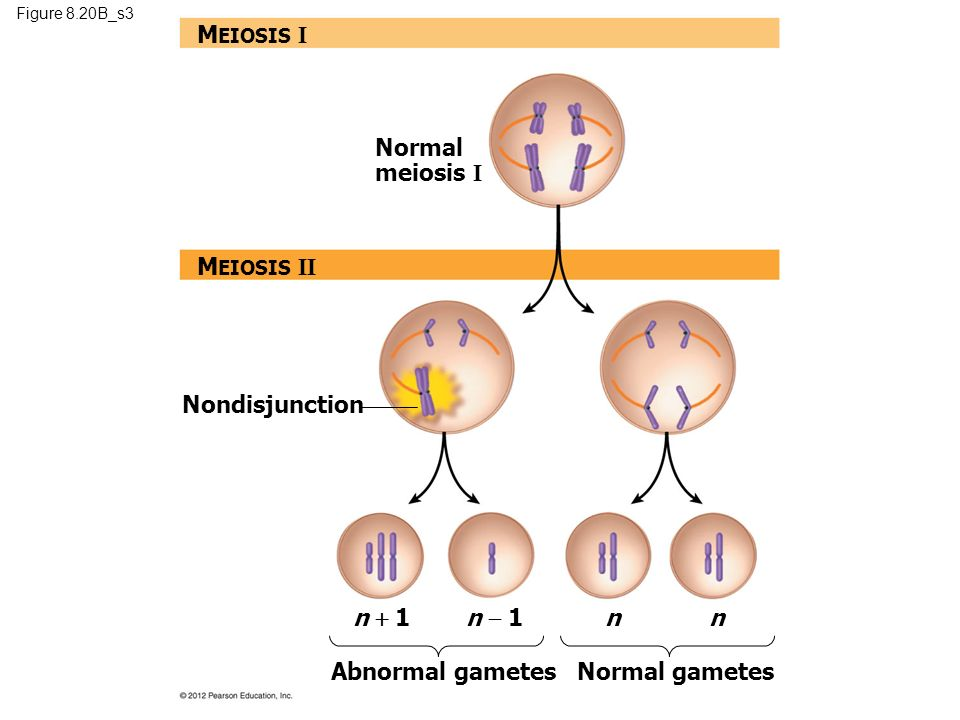 mitosis meiosis Meiosis ii is just like mitosis separates chromatids of one homolog of the homologous pair.