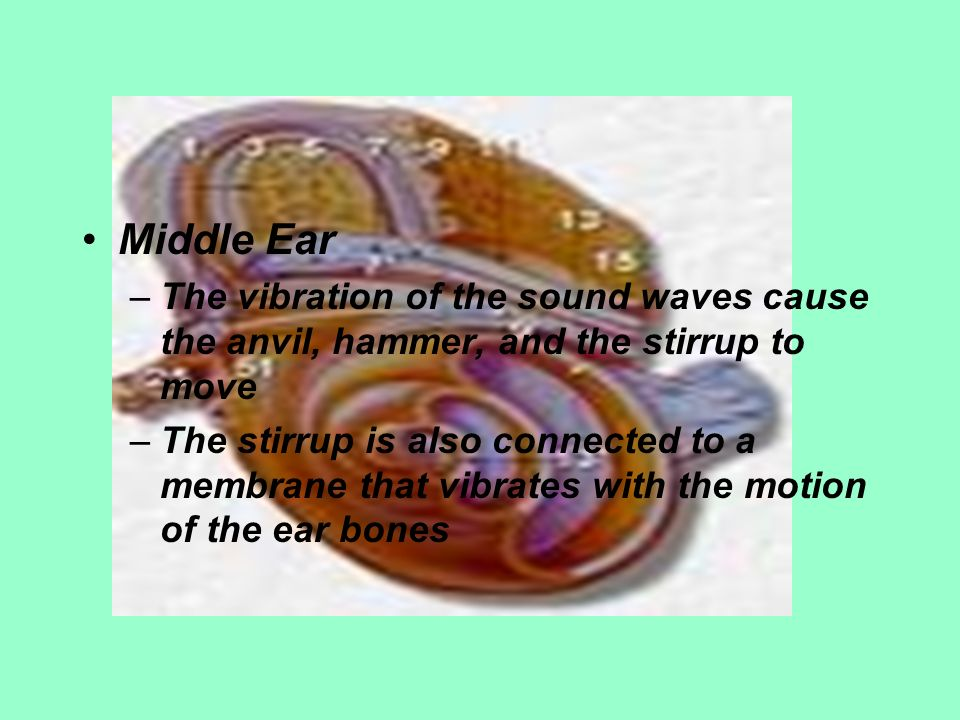 Middle Ear The vibration of the sound waves cause the anvil, hammer, and the stirrup to move.