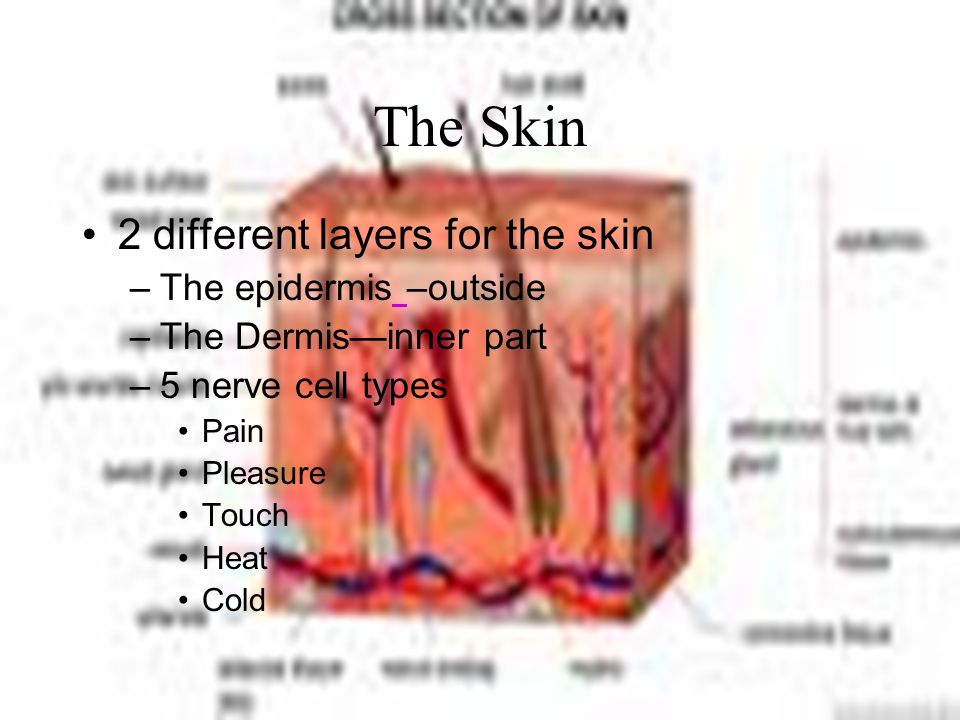 The Skin 2 different layers for the skin The epidermis –outside