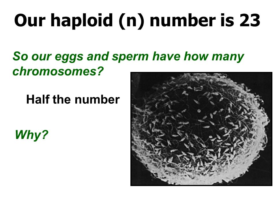 how many chromosomes are in half of a sperm