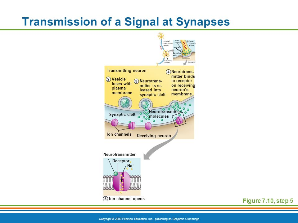 Transmission of a Signal at Synapses