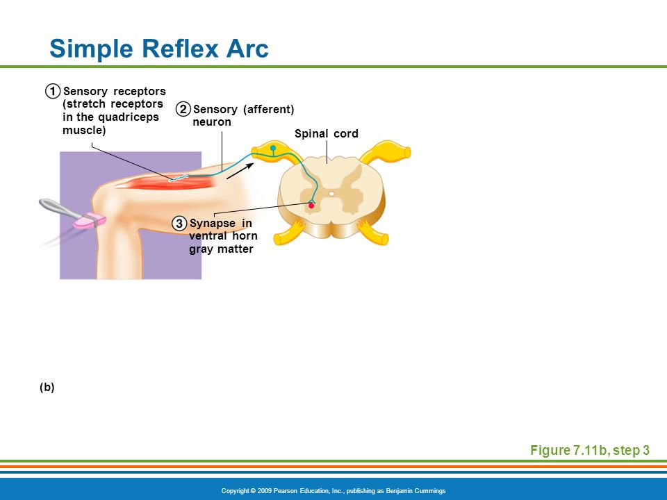 Simple Reflex Arc Figure 7.11b, step 3
