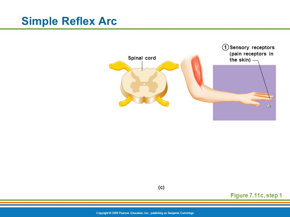 Simple Reflex Arc Figure 7.11c, step 1