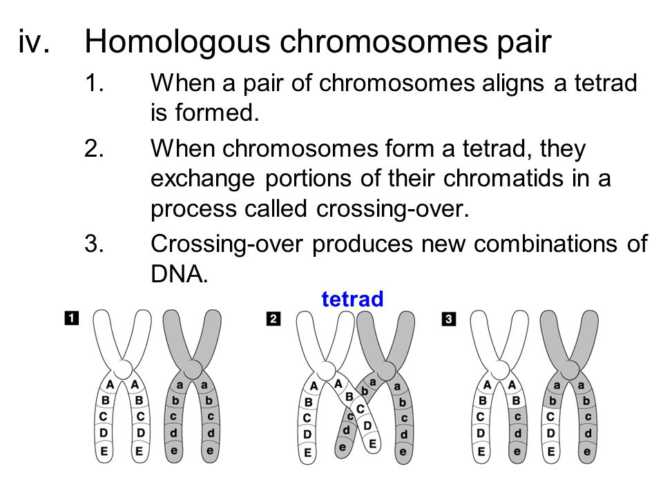 how to draw chromosome tetrad