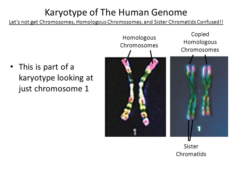 homologous chromosomes and sister chromatids Sister chromatids are a pair of synthesized daughter chromatids generated when a single chromosome is duplicated into two copies of the parent chromosome the replication of these chromosomes occurs during the synthesis phase of interphase the sister chromatids carry the same alleles of genes.
