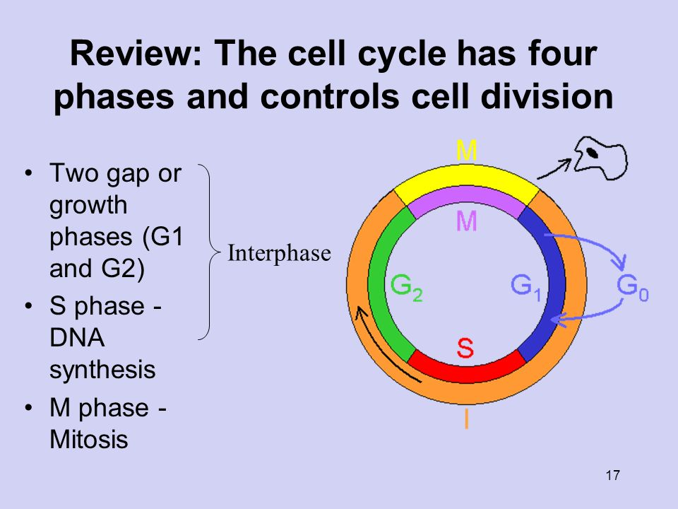 the cell cycle notes Paul andersen explains how the cell cycle is used to create new cells the creation of identical diploid daughter cells, through mitosis, is described.