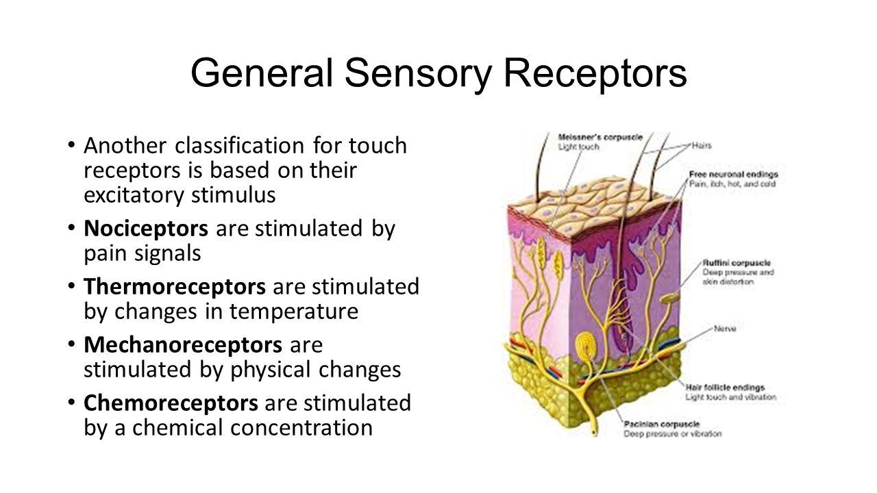 General Sensory Receptors
