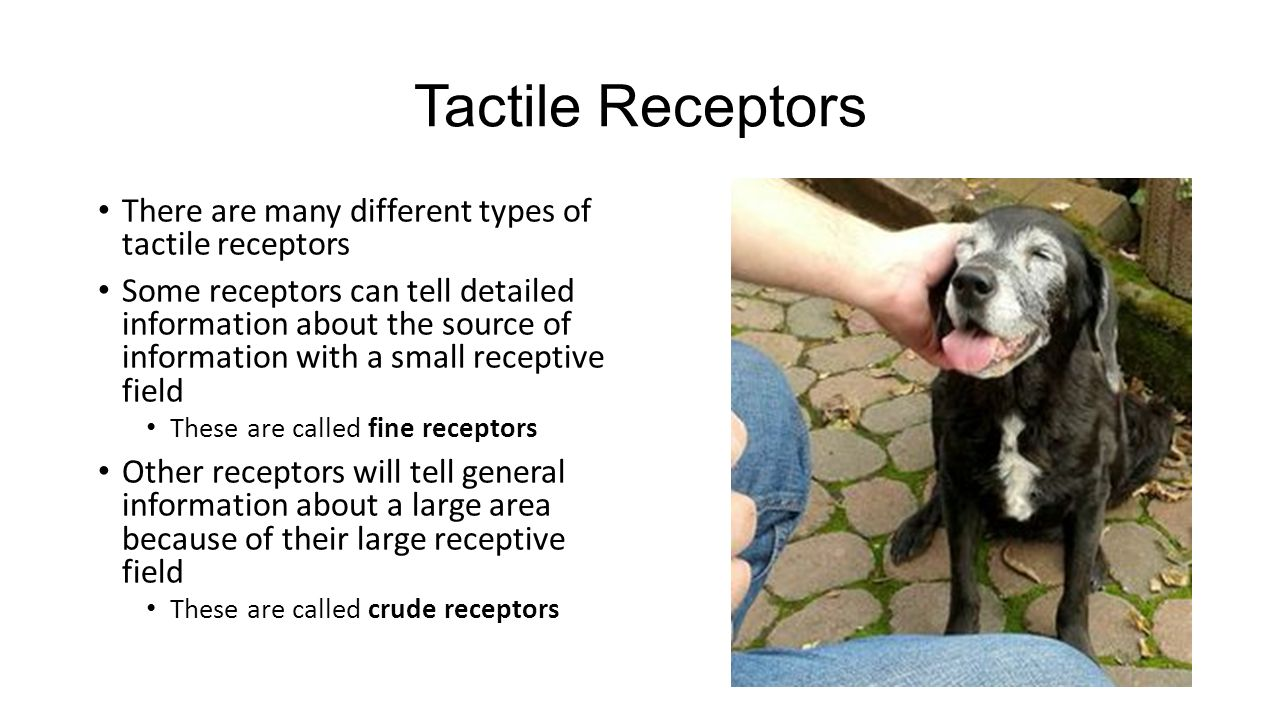 Tactile Receptors There are many different types of tactile receptors