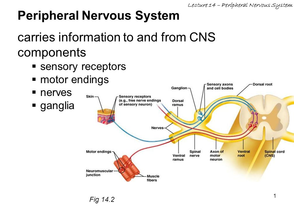 Peripheral Nervous System Ppt Video Online Download