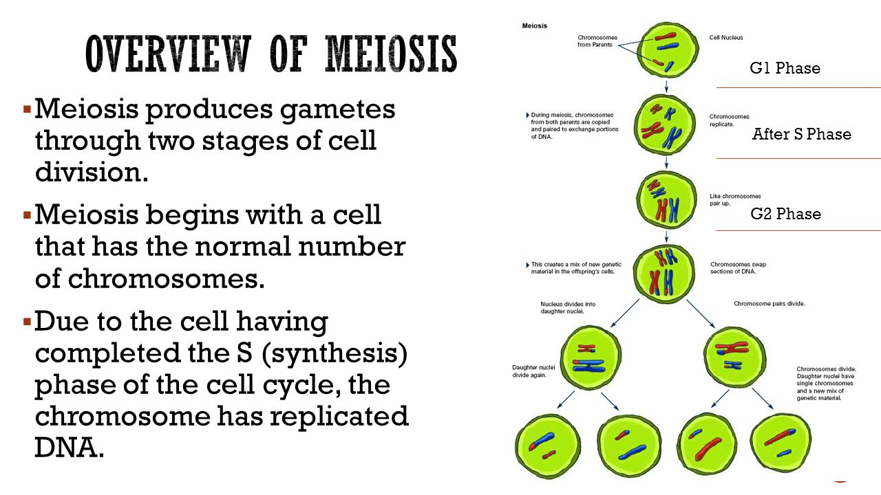 stages of meiosis Meiosis is a special type of cell division unlike mitosis , the way normal body cells divide, meiosis results in cells that only have half the usual number of chromosomes , one from each pair for that reason, meiosis is often called reduction division.