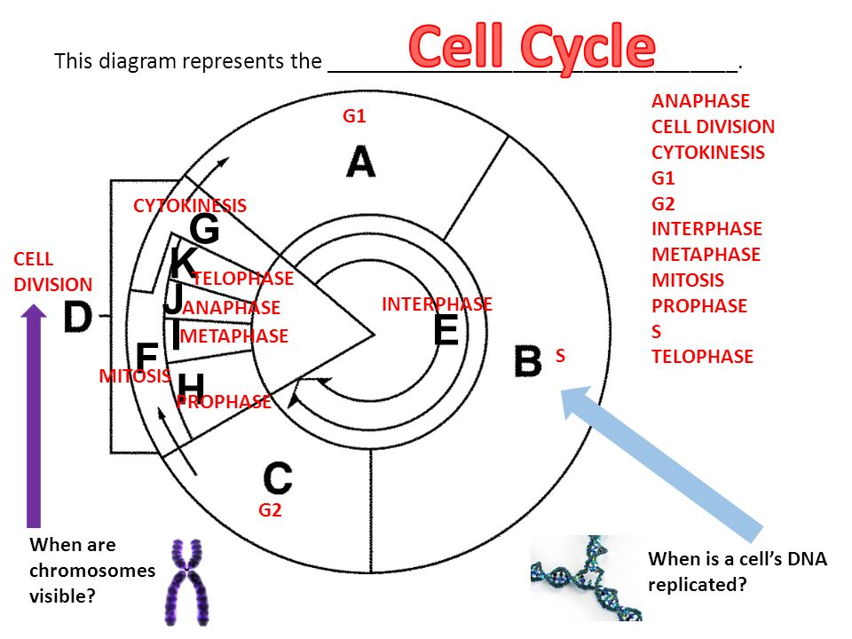 Unit 4 cell division review ppt video online download anaphase cell division ccuart Choice Image