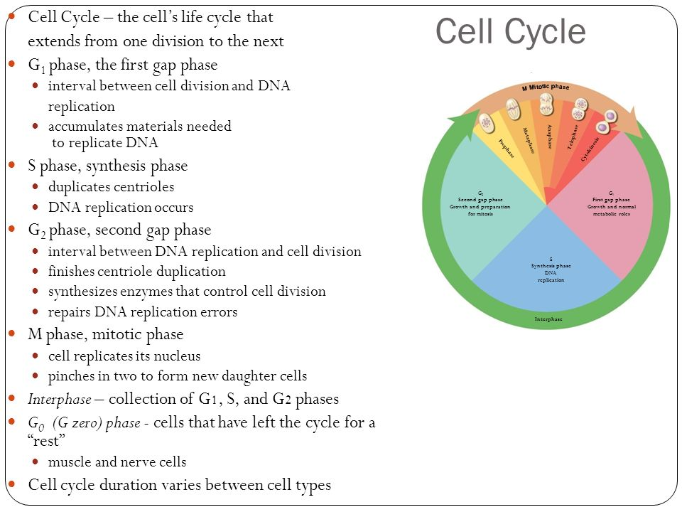 relationship between replication and cell division