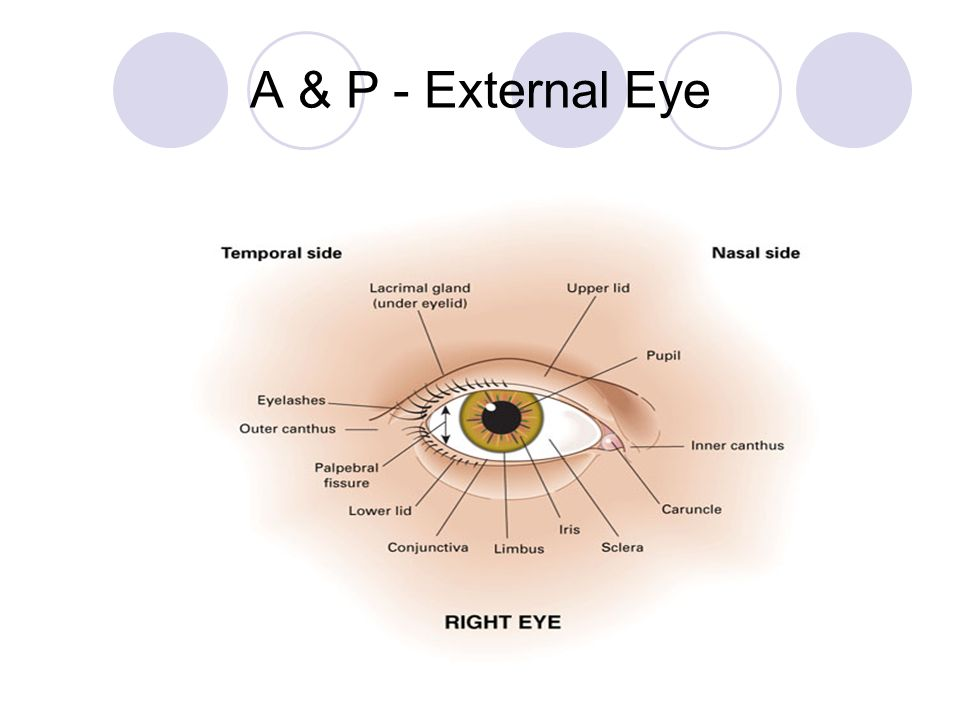 Famous Anatomy Of External Eye Picture Collection Anatomy And