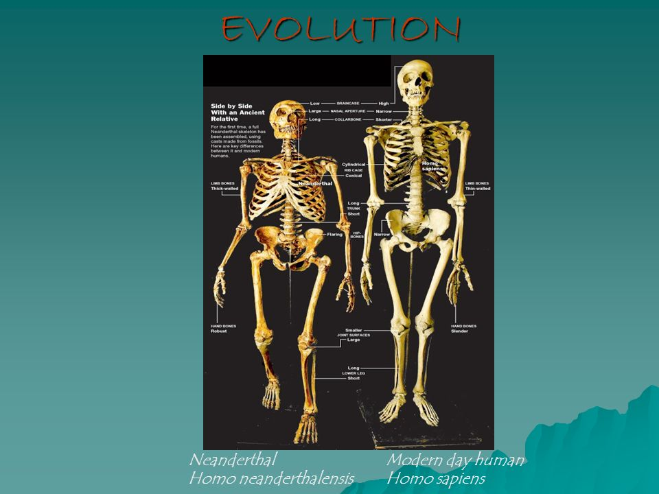 Evolution Neanderthal Modern Day Human Ppt Video Online Download