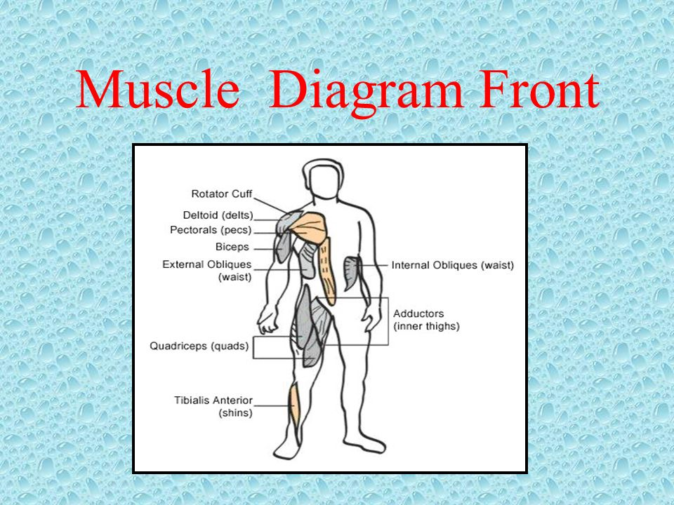 Muscle Diagram Front