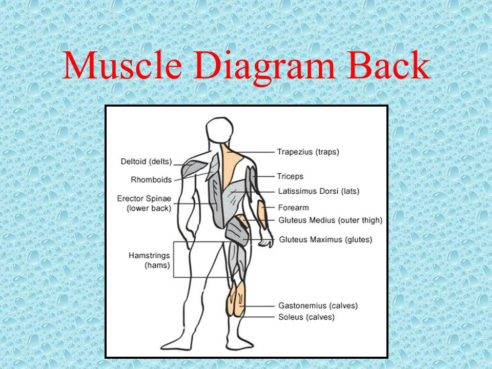Muscle Diagram Back