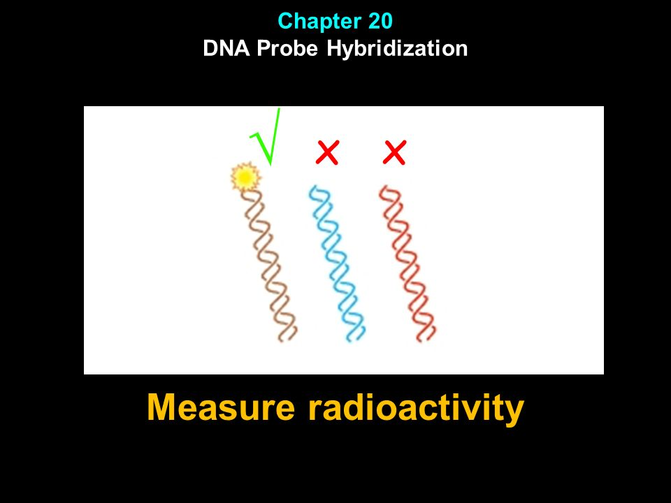 Chapter 20 DNA Probe Hybridization Measure radioactivity
