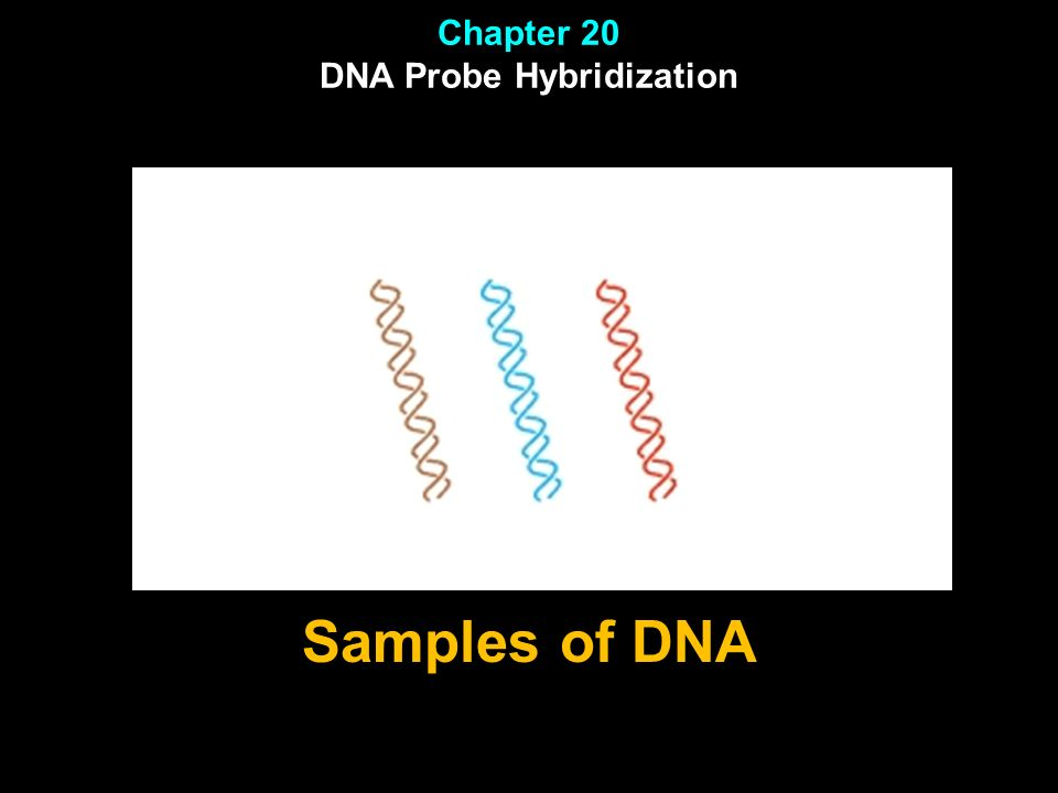 Chapter 20 DNA Probe Hybridization