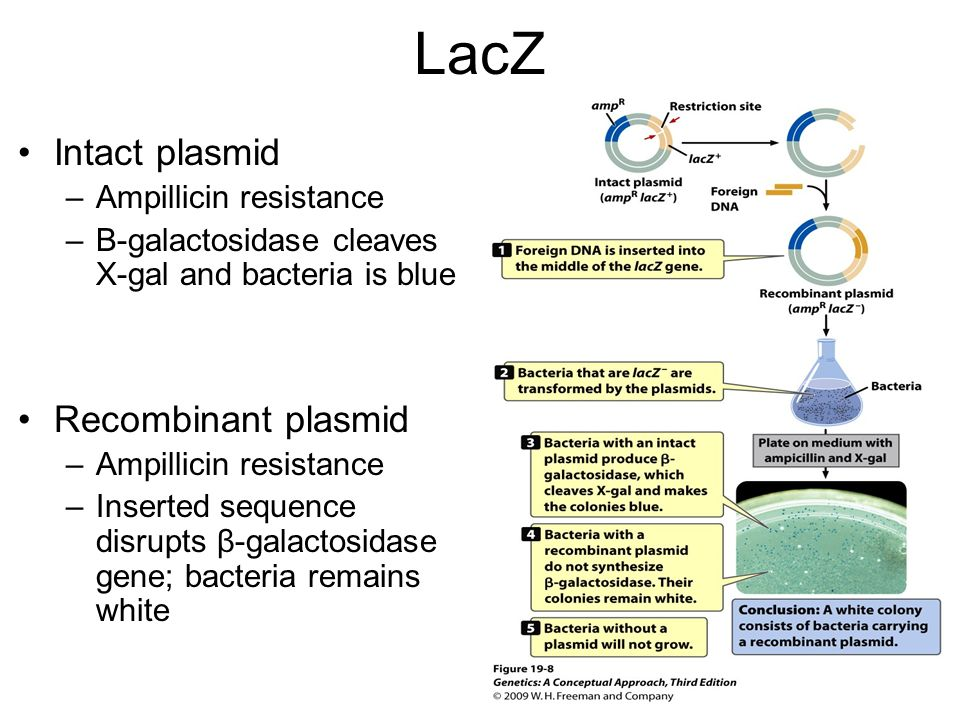LacZ Intact plasmid Recombinant plasmid Ampillicin resistance