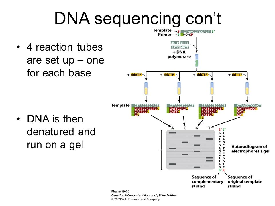 DNA sequencing con't 4 reaction tubes are set up – one for each base