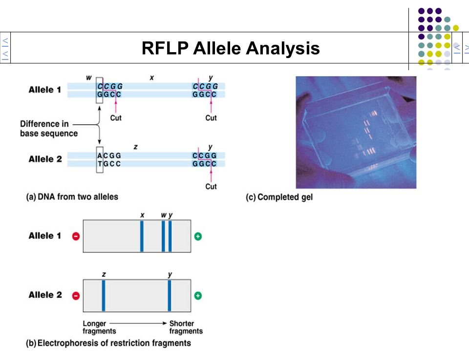<< RFLP Allele Analysis < >