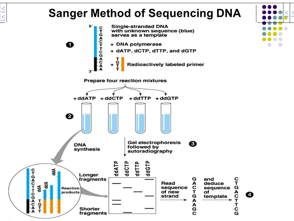Sanger Method of Sequencing DNA